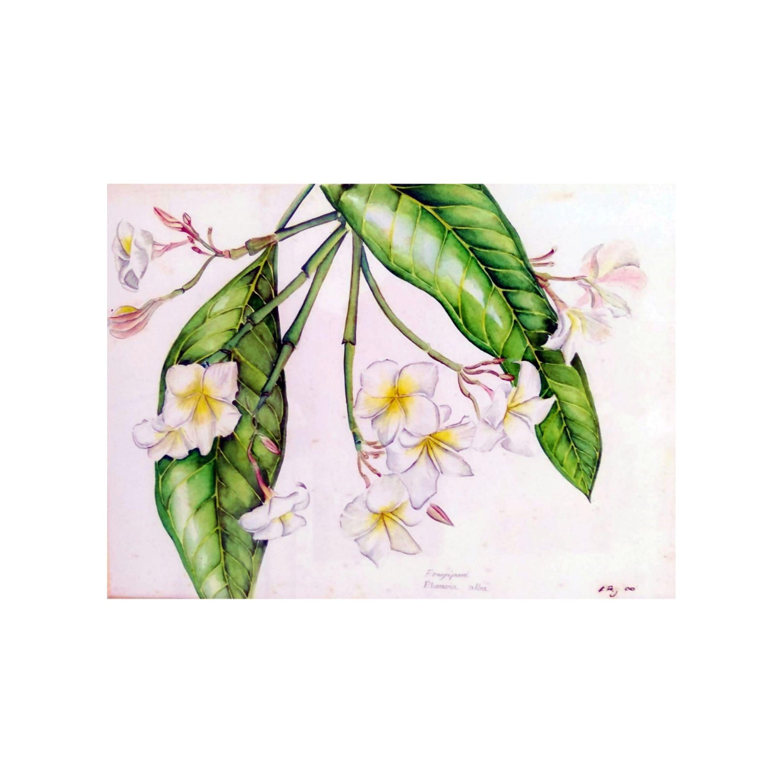 Frangipani Plumeria alba