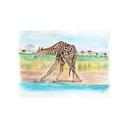 Namibian Giraffe drinking