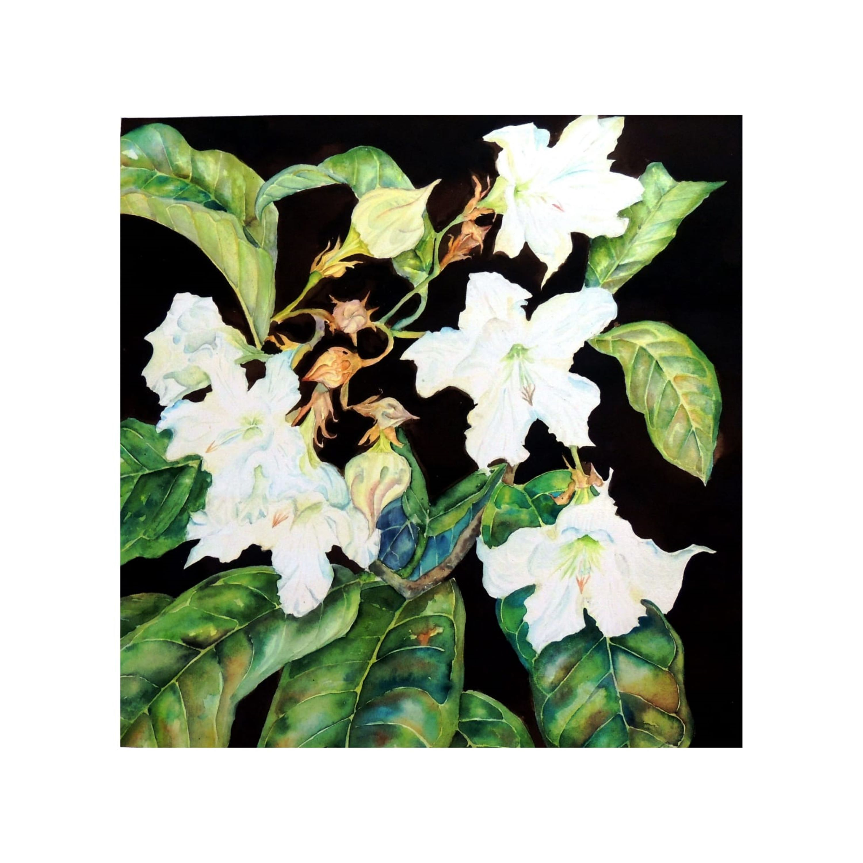 Beaumontia grandiflora - Herald's Trumpe