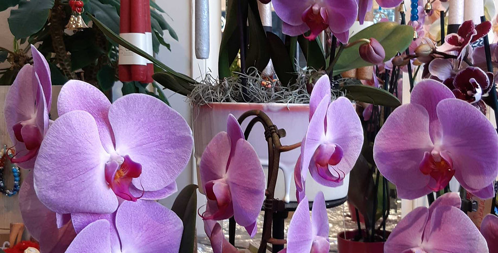 Phalaenopsis magic pink