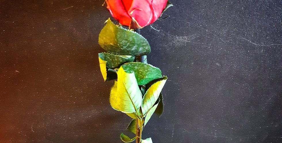 Rose Eternelle - Rivieraflor Livraison Genève
