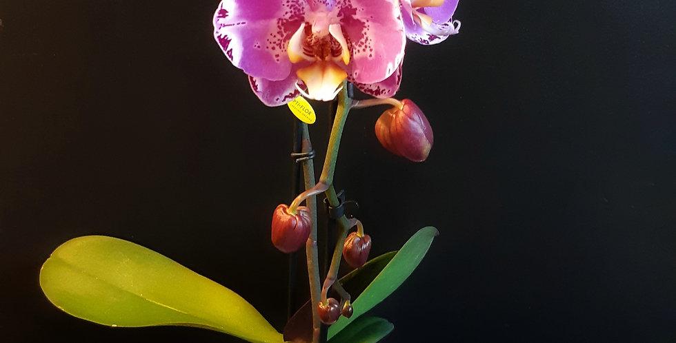 Phalaenopsis fontana