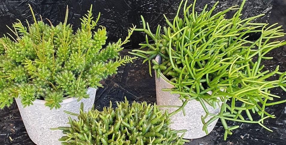 Différentes  plantes  Grasses