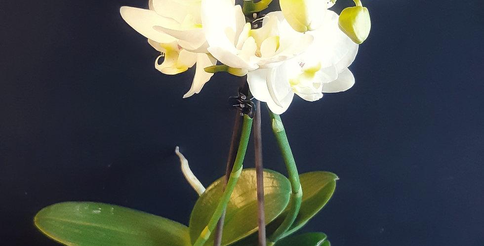 Plante de little kolibri Orchidée - Rivieraflor Livraison Genève