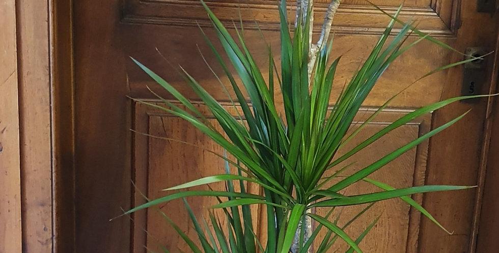 Plante Dracaena marginata avec cache pot