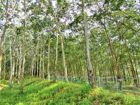 Rubber Trees View