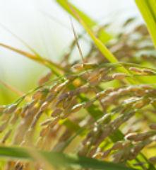 三重県産米使用