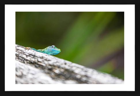 Peekaboo Blue Anole
