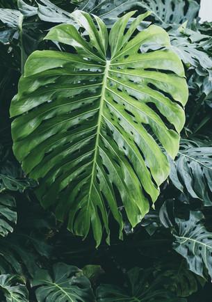 Philodendron Leaf.jpg