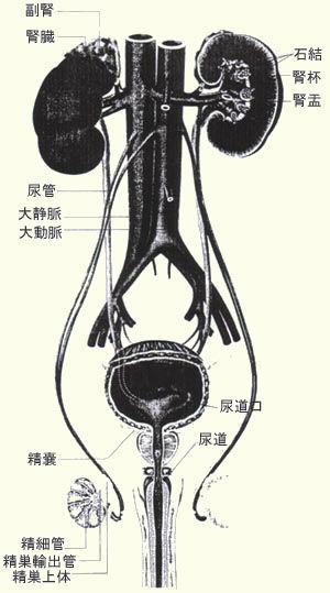 尿路結石Ⅰ.jpg