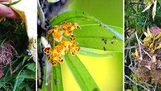 New project: Uncovering Nepal's trade in wild orchids