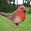 Thumbnail: Hanging Robin