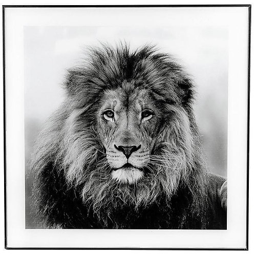 Black and white Lion Framed Picture