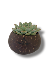 Growconut succulent.png