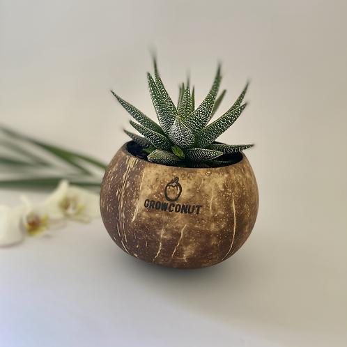 Wholesale - Succulent growconut