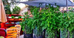 Tomates et changement climatique