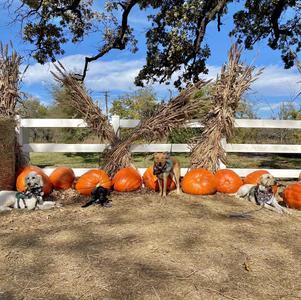 Farm Animals and Pumpkins