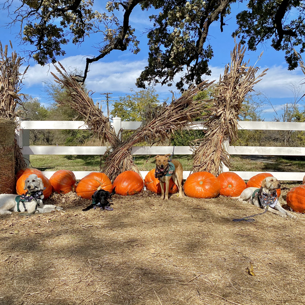 Farm Animals and Pumpkins