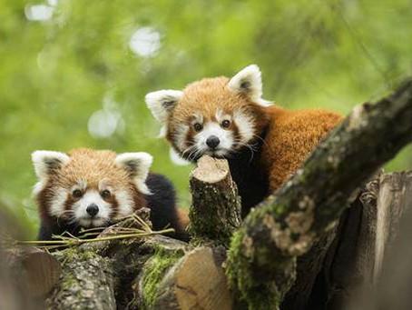 WEEK-END INTERNATIONAL DU PANDA ROUX LES 16 ET 17 SEPTEMBRE AU PARC ANIMALIER DE SAINTE-CROIX