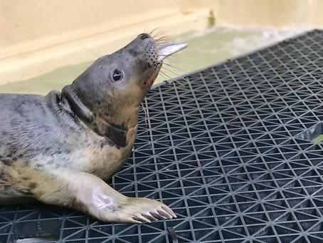 Trois bébés phoques soignés à l'Aquarium de Biarritz vont regagner leur milieu  naturel