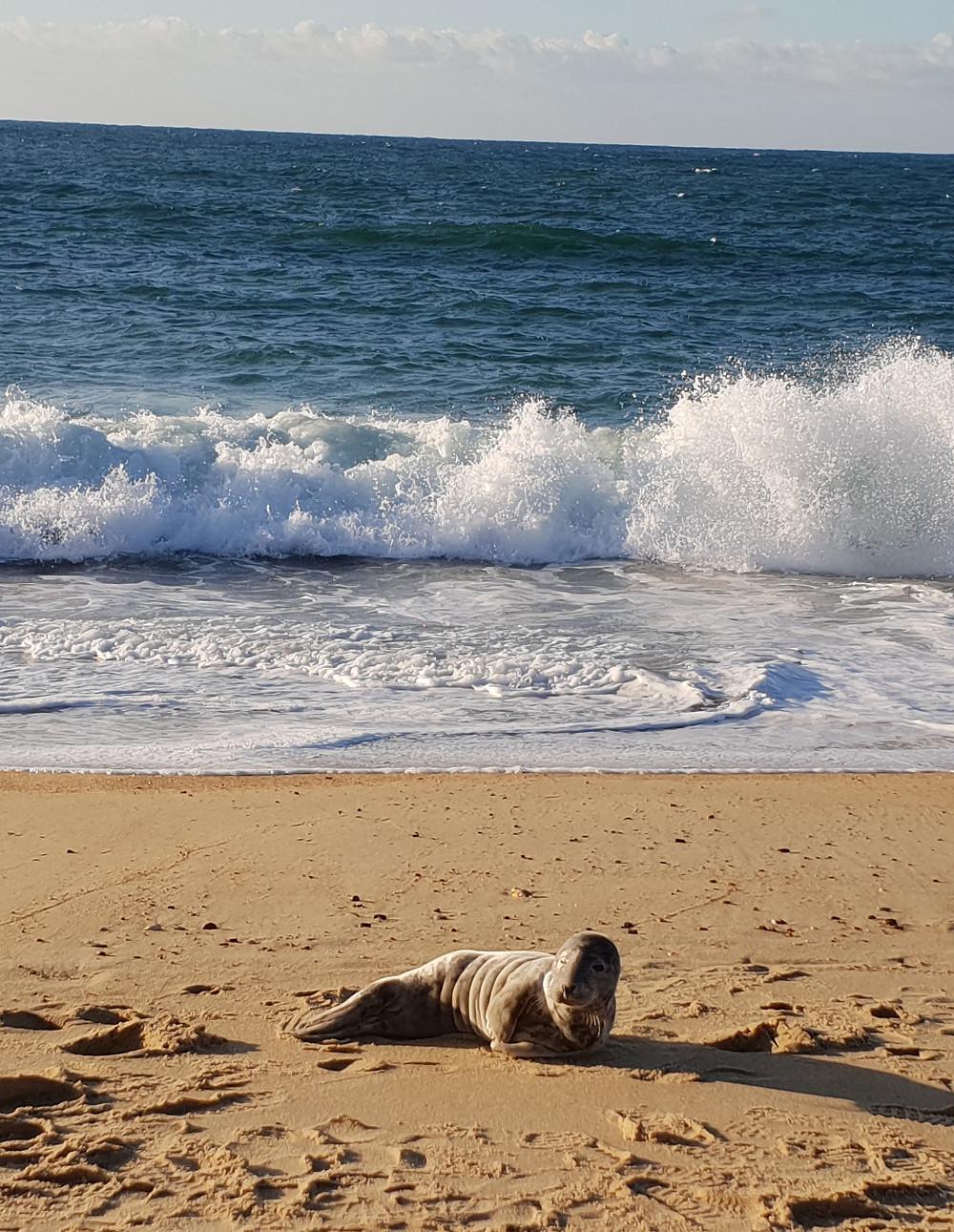 Phoque échoué sur la plage