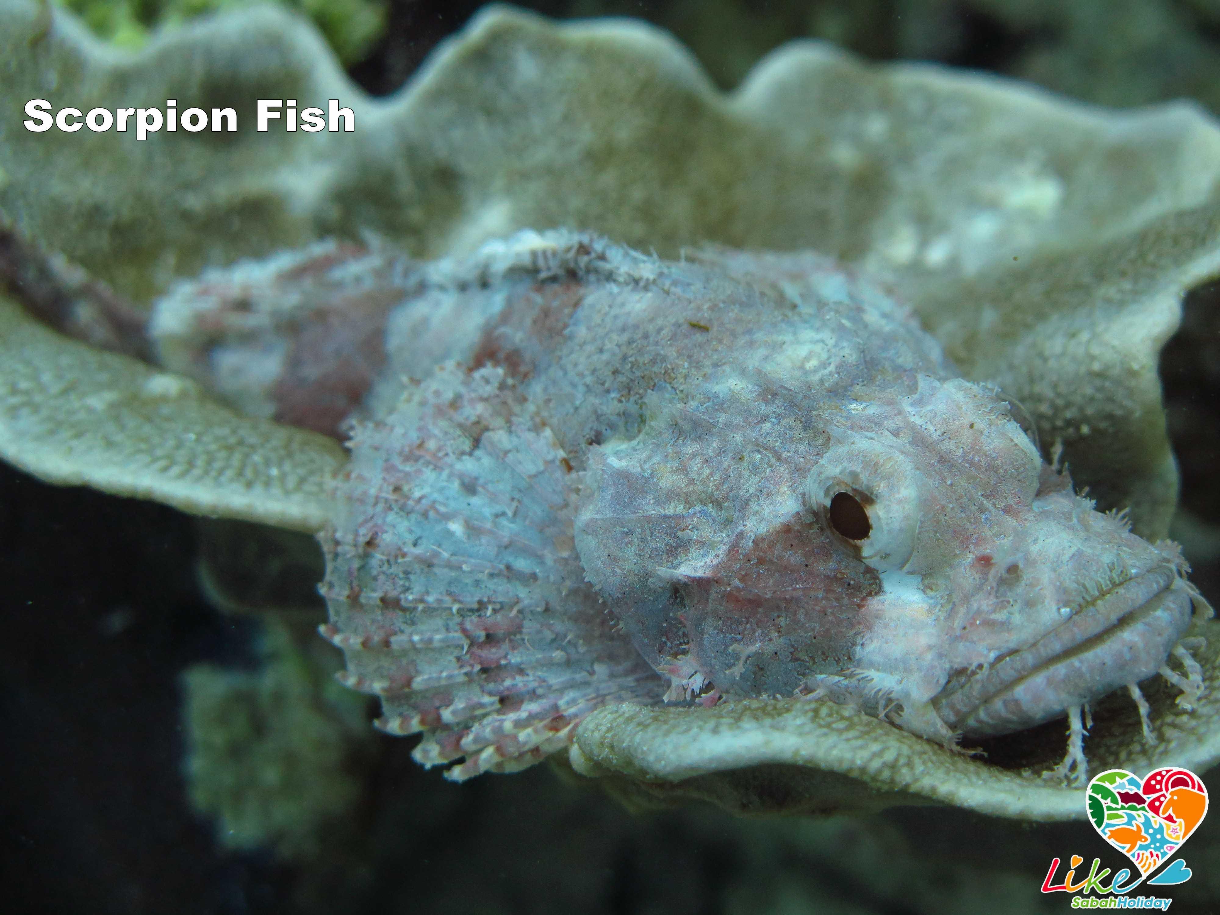 Scropion Fish