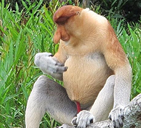 Weston紅樹林長鼻猴