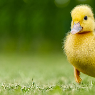 Tips for Raising Healthy Ducklings