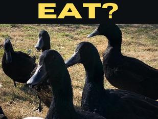 What Do Ducks Eat?