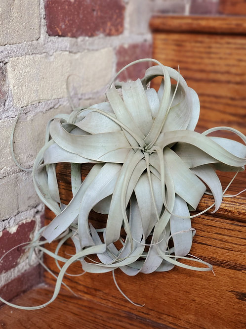 Xerographica Air plant, Queen