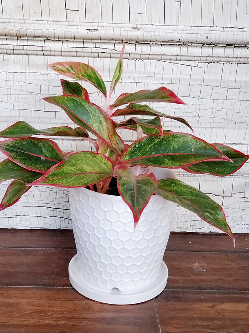Aglaonema Aurora Siam Red