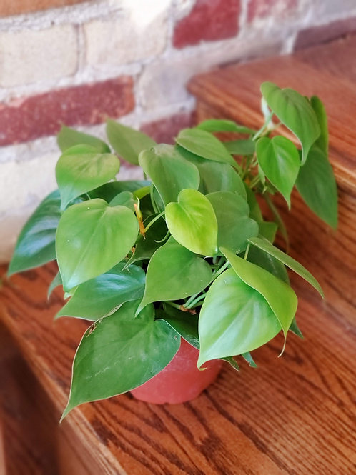 """Philodendron Cordatum """"Sweetheart Plant"""""""