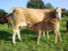 Kuh-mit-Kalb.jpg