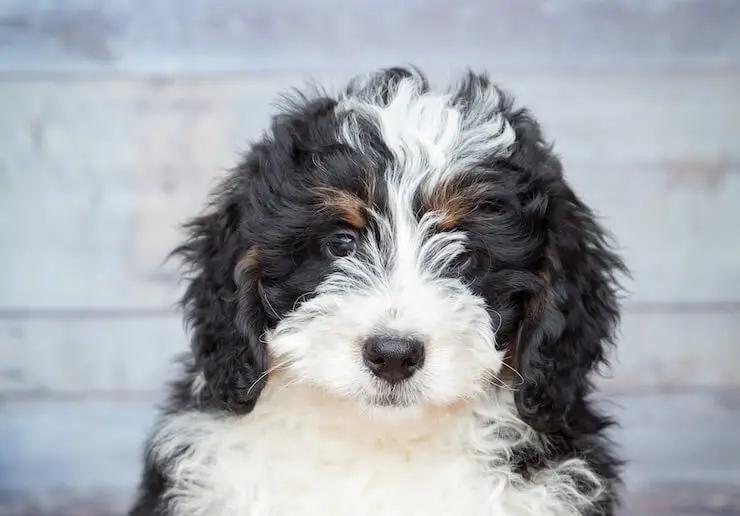 Bernedoodle Pup1.webp