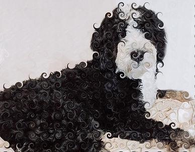 bernedoodle-curl1.jpg