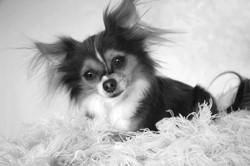 Charming Chihuahua