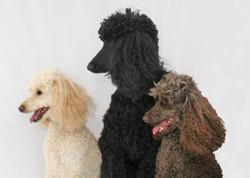 Tri-Poodle Profile