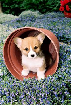 Potted Corgi Puppy