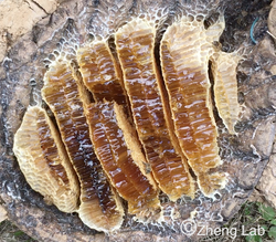 Honeycomb of Apis cerana