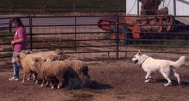 Isaac herding.jpg