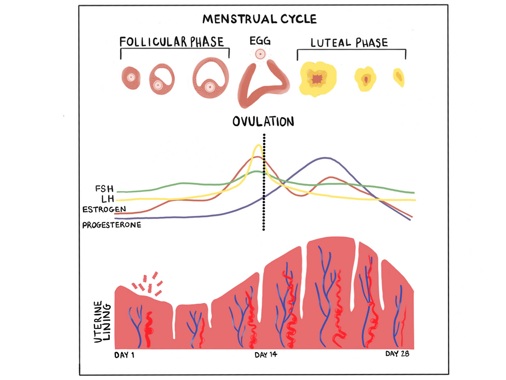 A diagram of the hormonal and physiological changes associated the menstrual cycle
