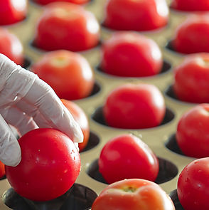 factory sorting tomatoes