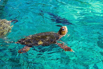 Turtle-Views-around-the-Caribbean-island
