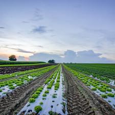 Crops in open fields.jpg