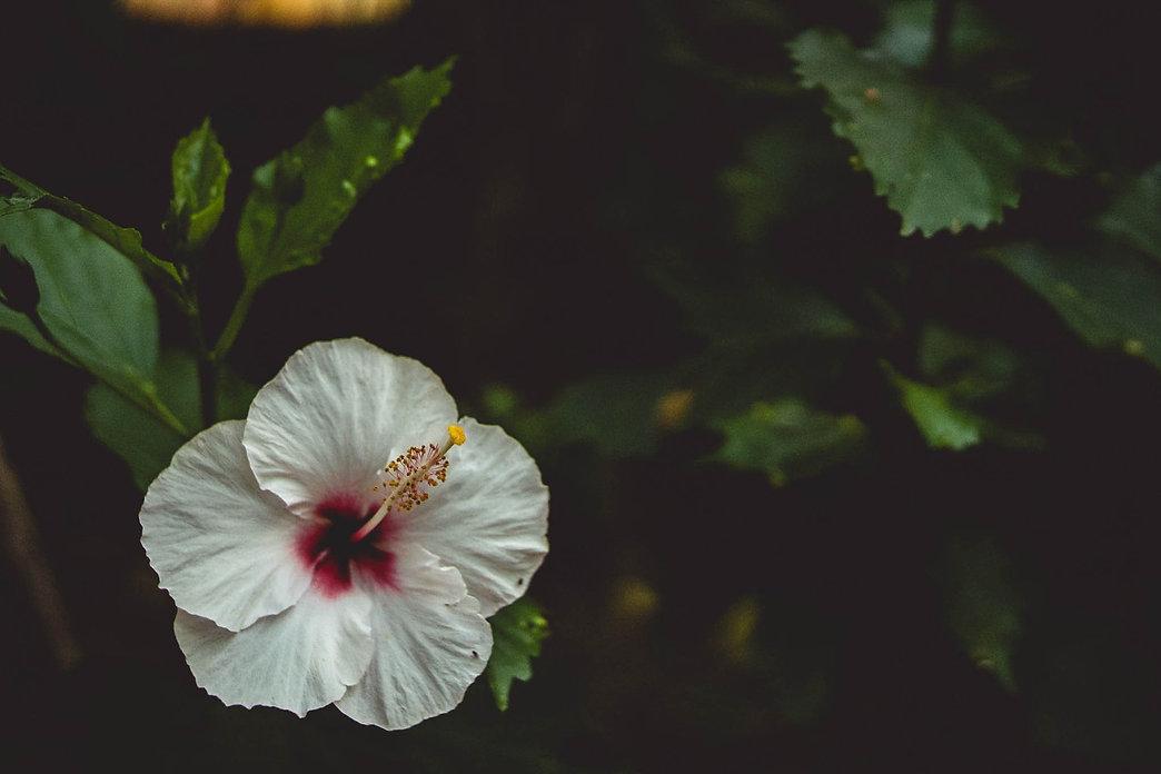 Tropical Hibiscus Flower at Hana Farms