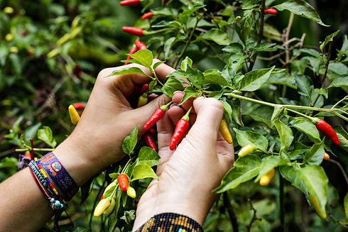 Hand-Picked-Hawaiian-Peppers-at-Hana_far