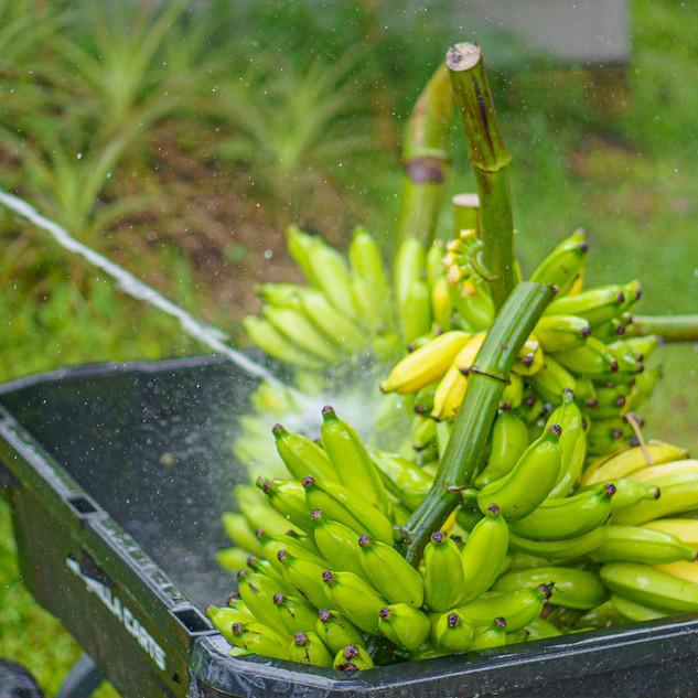 Hana Farms Banana Rack