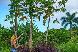 Hana Farms work-trader papaya harvest