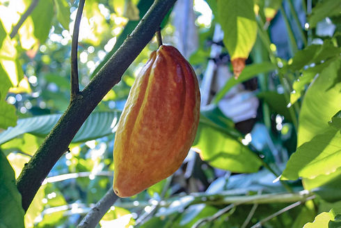 Cacao-pod-hana-farms.jpeg