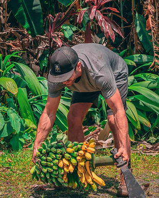 Hāna Farms worker picks up banana rack.j